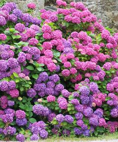 By Kathleen Mierzejewski Have you ever seen a hydrangea plant in full bloom? They are one of the most beautiful garden plants you'll ever see. They make great additions to vases in the house, and come in absolutely beautiful colors. Because they are so beautiful most of the time, you really notice when your hydrangeas…