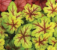 The deeply cut foliage of 'Alabama Sunrise' changes color with the seasons. Bright gold, red-veined leaves become greener but hold that brilliant red flash.