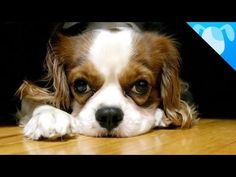 Cavalier King Charles Spaniel! They come from the Spaniel line dating back to England in the 1600s. They were originally used as lap and feet warming dogs for royalty. They are different from the Kings Charles Spaniel by muzzle length. They are strictly indoor dogs but still need exercise. They come in 4 varieties and they all are friendly!