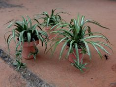 how to: spider plants