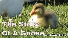 The Story Of A Goose | Zero project music, Moon Waltz Auckland, New Zealand, Travel Guide, Zero, Moon, Music, Travelling, Animals, Youtube