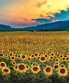 Grand Sunflower Field IPhone 5s Wallpaper