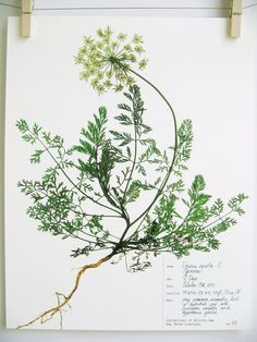 Herbarium Specimen Art PRINT Real Pressed by DayThreeCreations
