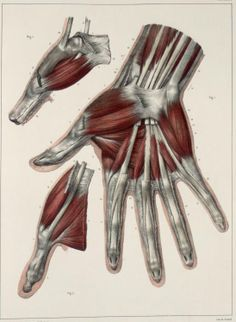Muscles+and+tendons+of+the+hand2.jpg (548×749)