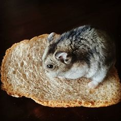 Mmm, sandwich with hamster :p her name is Killer #hamster #sandwich #animal #animals #cute