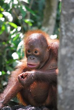"""Borneo Malaysia, Man I just think orangutans are SO COOL, just so smart and behave like humans in so many ways. (a lot smarter then a lot of people I""""ve met or had the wonderful job of having to deal with! Clouded Leopard, Kota Kinabalu, Orangutans, East Indies, Monkey Business, Forest Animals, Borneo, Kuala Lumpur, Homeland"""