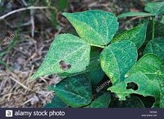 Image result for medicinal  herbs damaged by caterpillar