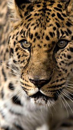 leopard, predator, aggression, look, big cat