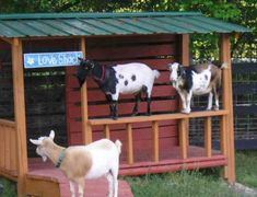 Scroll through this site and see all the play structures they have for their goats! Houses and I love the surfboards for them to stand on!