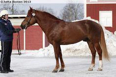Finnhorse - stallion Keisar