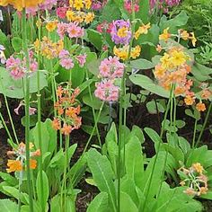 Moist Plants for damp garden areas for sale Primroses, Aquatic Plants, Garden Soil, Plant Sale, Potted Plants, Roots, Nursery, Flowers, Color