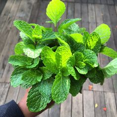 Got a big bunch of mint leaves? Here's how you can preserve them  #cookingtips #herbs #summer