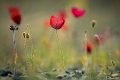 Poppy... - Gelincikler...