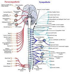 """Super cool diagram showing the Parasympathetic and sympathetic nervous systems. The parasympathetic nervous system controls the """"rest and restore"""" response. The sympathetic nervous system controls the """"fight or flight"""" response. Nerve Anatomy, Brain Anatomy, Human Body Anatomy, Human Anatomy And Physiology, Medical Anatomy, Nervous System Diagram, Nervous System Anatomy, Peripheral Nervous System, Human Nervous System"""