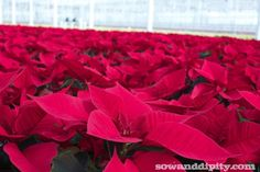 How to Care For Poinsettias -