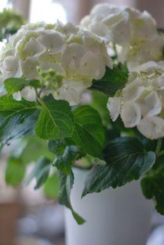 Iby Lippold Haushaltstipps Blog: Meine Hortensien brauchen Schatten und genug Wasse...