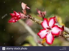 Impala lily flower Adenium multiflorum Kruger National Park Limpopo Stock Photo, Royalty Free Image: 11892259 - Alamy