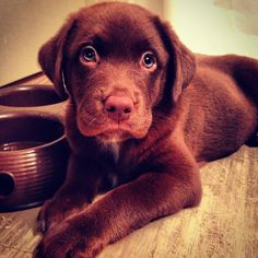 Labs are the best
