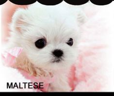 Dogs and puppies for sale baby teacup chihuahua ideas Teacup Chihuahua Puppies, Morkie Puppies, Chihuahua Puppies For Sale, Teacup Puppies For Sale, Teacup Maltese, Maltese Dogs, Dogs And Puppies, Teacup Dogs, Teacup Bulldog