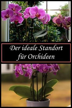 The perfect orchid location-Der perfekte Orchideen-Standort Your orchid will also feel really good here! Indoor Flowers, Exotic Flowers, Amazing Gardens, Beautiful Gardens, Container Gardening, Gardening Tips, Hair Rainbow, Hydrangea Care, Tree Pruning