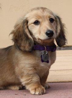 Chloe, longhaired shaded cream miniature dachshund