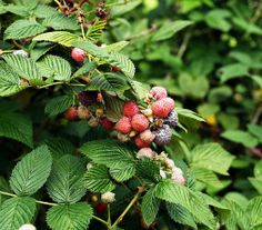 How to Harvest and Dry Raspberry Leaves For Tea