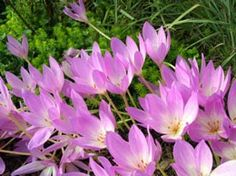 Autumn Crocus Deer Resistant Flowers Garden Drought Plants Plant