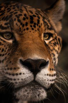 Ceiba the Jaguar by Josh Arlington  (josharlington.tumblr.com)