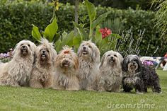 A 6 Pack Of Havanese Dogs Stock Image - Image: 22343171