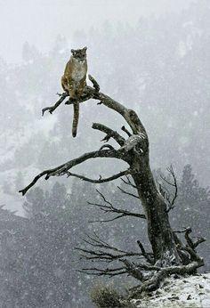 Cougar......