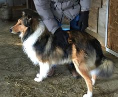 Mountain Wave Barley, owned by Leslie Allen of Indiana. I love his type! Collie Mix, Rough Collie, English Shepherd, Australian Shepherd, Welsh Sheepdog, Scotch Collie, Sheltie, Livestock, Corgi