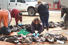 Bald Eagles Are Dying of Lead Poisoning