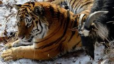 Em um zoológico da Rússia, um bode foi colocado dentro da jaula de um tigre para ser sua refeição. O que ninguém esperava é que, em vez de comê-lo, o felino, batizado de Amur, tornou-se amigo e até brincou com o animal.