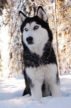 Blue-eyed Siberian Husky named Kiira in the snow. Beautiful!!