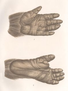 Gorilla Hand and Foot Print