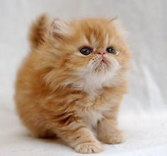 10 Things You Should Know about Persian Cats Click the picture to read                                                  I want it.......Ada