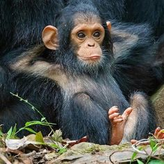 Baby chimp, just chillin ❣ Cute Baby Animals, Animals And Pets, Funny Animals, Cute Animal Pictures, Monkey Pictures, Beautiful Creatures, Animals Beautiful, Baby Chimpanzee, Pet Monkey