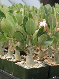 Adenium Obesum Caudex Succulent Plant