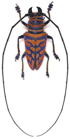 Sternotomis bohemani ferreti. Location:Tanzanie. Size:2 cm