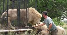 Dentists Save A Beautiful Male Lion, Then Return Him To The Wild via LittleThings.com