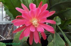 Epiphyllum pink-padre