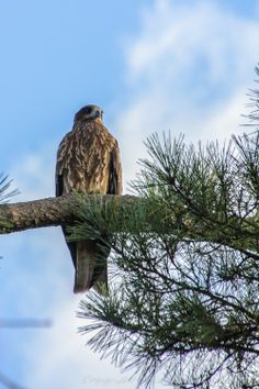 Photography of Japan  Japanese Black Kite  by AkariPhotography, $20.00