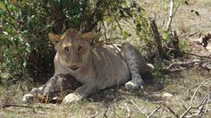 Young lion curiously investigating a turtle. He eventually lost interest & the turtle ambled off.