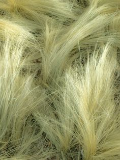 I think this is Mexican hair or ponytail grass? I forget what it's called, but it re seeds wherever it wants, and for some reason the cats can't resist laying on it.