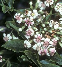 Schrebera alata - seeds  Click to see full-size image