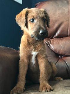 Dog Best Friend, Best Friends, Animals And Pets, Cute Animals, Lakeland Terrier, Irish Wolfhounds, Irish Terrier, Wire Fox Terrier, Famous Stars