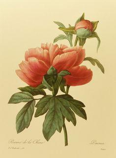 Vintage Pivoine de la Chine (Mountain Peony) Redoute Flower Print, French Country Home Decor, Botanical Wall Art Hanging, No. 101. $5.00, via Etsy.