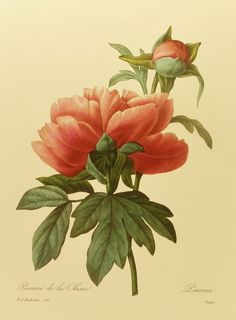Vintage Pivoine de la Chine (Mountain Peony) Redoute Flower Print, French Country Home Decor, Botanical Wall Art Hanging, No. 101. $5.00, via Etsy.