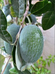 Feijoa, or Pineapple Guava Fruit Plants, Fruit Garden, Fruit Trees, Trees To Plant, Colorful Fruit, Exotic Fruit, Tropical Fruits, Weird Fruit, Strange Fruit