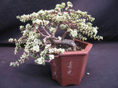 Portulacaria afra 'variegata' Elephant Bush - excellent for bonsai